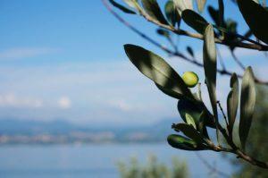 olivo lago di garda